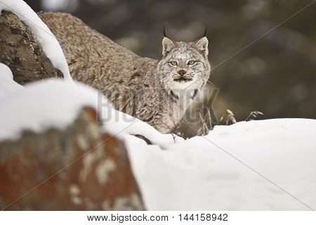 Lynx Is Getting Ready For Preying.