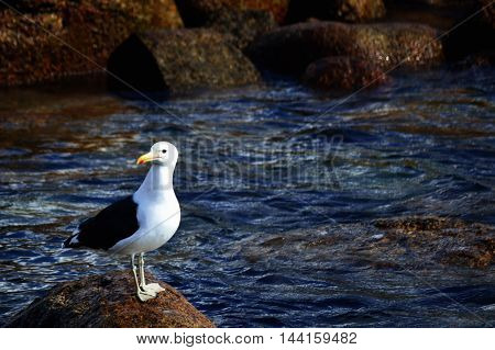 Seagull in the south pacific sea shore