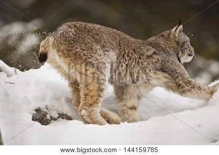Lynx Is Awaiting For Hunt.