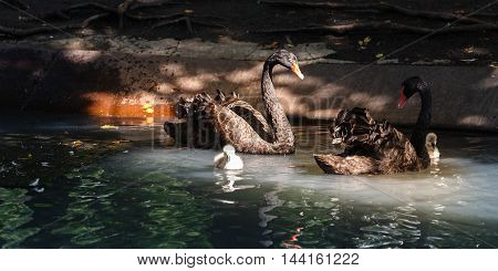 Family of the black swans swimming in a pond