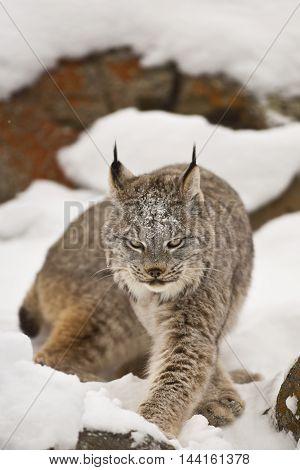 Lynx Is Moving Forward.