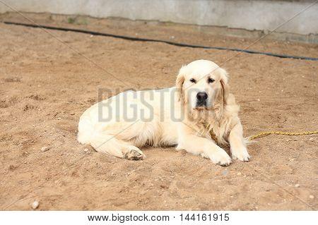 A Golden Retriever dog lies on sand