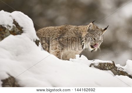 Lynx Is Looking For Hunt.