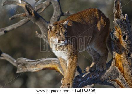 Profile Of The Mountain Lion.
