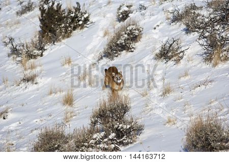 The Mountain Lion Habitat. Typical Cat Behaviour While Attacking.