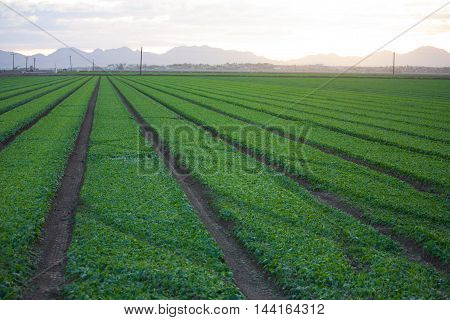 Careful irrigation allows fields of lush green vegetables grow in the California desert near Yuma Arizona