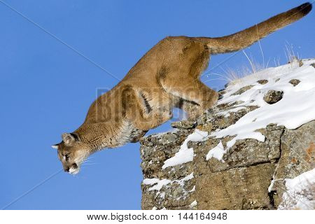 Mountain Lion On Top Of The Rock. Close View Of Mountain Lion