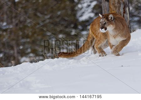 He Is Attacking For Prey. Close View Of Mountain Lion.