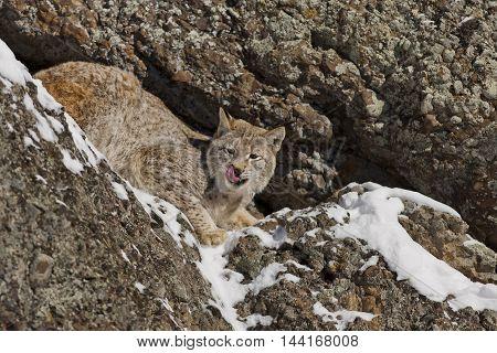 Siberian Lynx Is Standing On Rock.