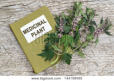 Medicinal plant motherwort (Leonurus cardiaca) and herbalist handbook. Other names: throw-wort lion's ear and lion's tail. Used in herbal medicine it is a valuable honey plant