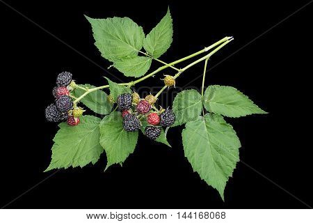 Bunch of black raspberries (Rubus occidentalis) in the process of ripening isolated on a black background