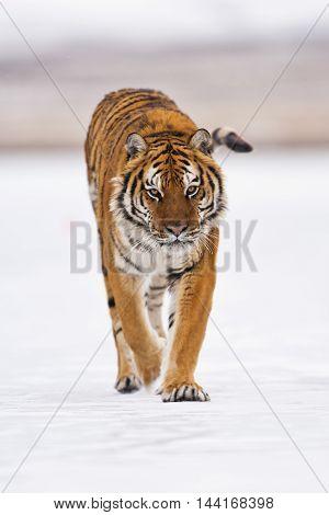 Amur Tiger Walking. He Arose Feeling Of Thrill.