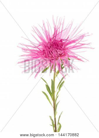 pink purple beautiful bright delicate flower needle asters with green leaves and stems on a white background isolated