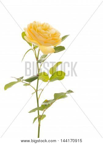 yellow beautiful delicate flower fragrant roses with green leaves and stems on a white background isolated
