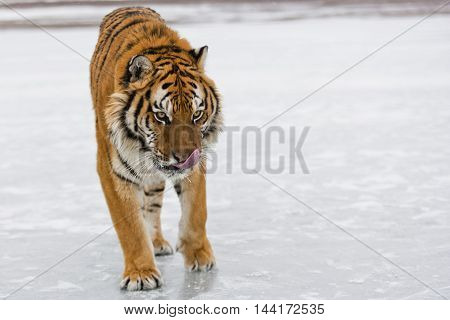 Amur tiger is standing on ice like a statue and his entire body can seen. Frontal view of Amur tiger.