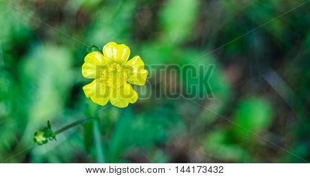 Yellow Weed flower.   Buttercup, close up in sunlit morning field.  Weed wildflowers in eastern Ontario