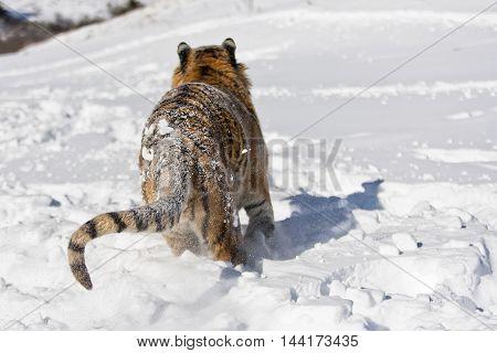 The Amur Tiger Habitat. Hearose Feeling Of Strength.