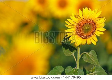 Sunflower Field Background On Sunset With Selective Focus