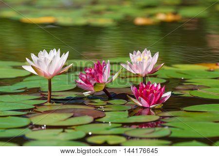 Few  Waterlily in a sunny garden pond