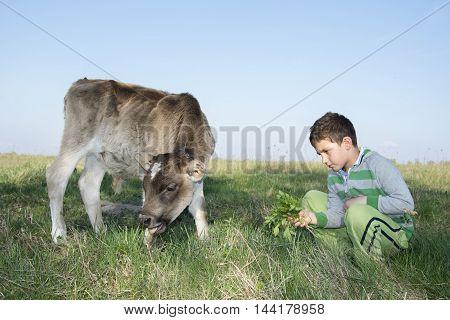 In the summer on the little boy feeding a calf grass.