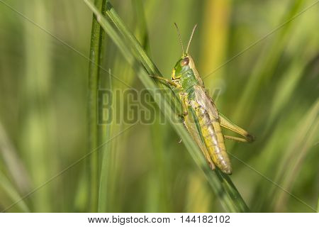 Meadow Grasshopper (Chorthippus parallelus) female resting on a Grass-Stalk