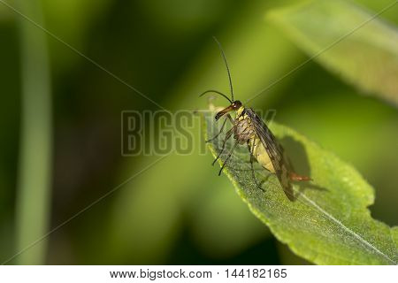 Common Scorpionfly (Panorpa communis) female resting on a leaf