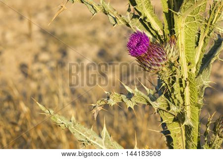 Cotton thistle (Onopordum acanthium) surrounded by thorns.