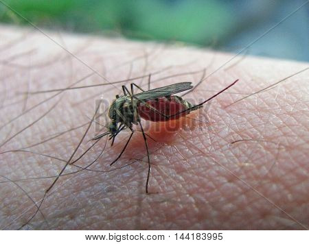 Mosquito sucking blood from human hand. Closeup