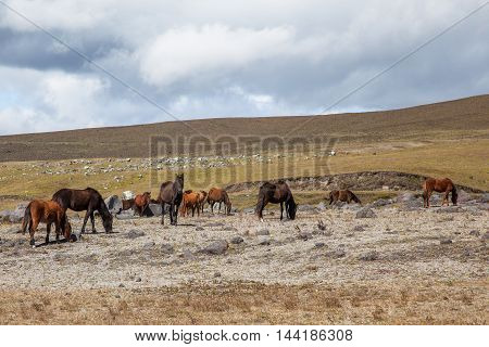 Herd of wild horses grazing in the highlands of Cotopaxi