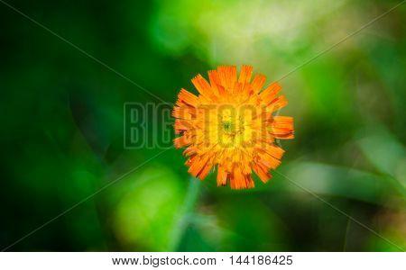 Orange weed flower, Hawk-weed, of genus Hieracium.  Weed wildflowers in Northeastern Ontario,
