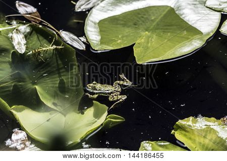 green frogs relaxing on pond waterlilies sunlight closeup