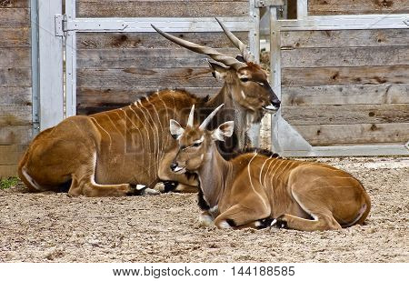Mother and baby Bongo Antelope resting together.
