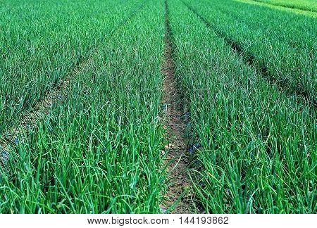 Vegetable farming