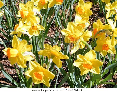 Carpet of Yellow Daffodils in garden in Washington DC USA