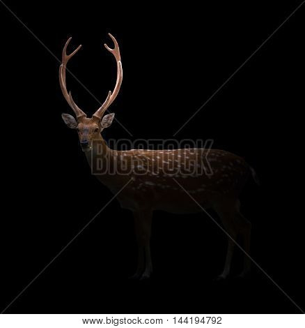 Sika Deer In The Dark