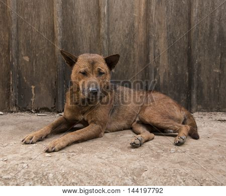 dog lying in front view near wood wall