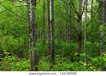 a picture of an exterior Pacific Northwest forest with a grove of Aspen trees in late spring