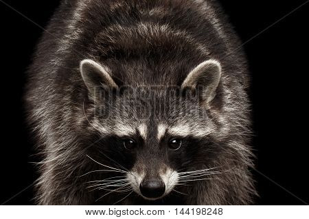 Closeup Portrait of Raccoon Gaze Looks isolated on Black Background, Front view