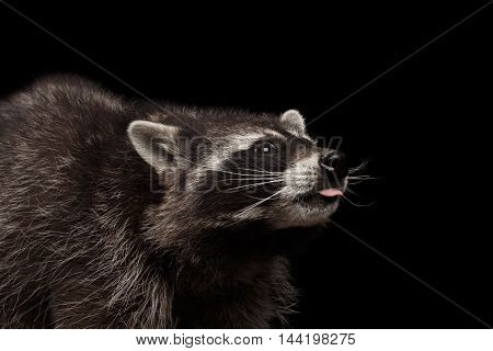 Closeup Portrait of Funny Raccoon Curious Looks and showing tongue isolated on Black Background, Side view