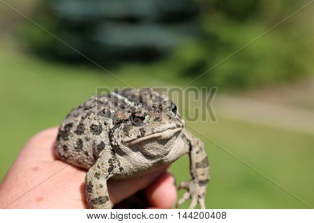 A beautiful Golden Eyed Western Toad aka Anaxyrus boreas, formerly Bufo boreas is a large toad species, native to western North America