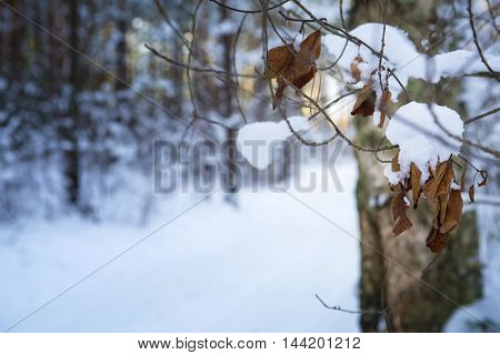 Branch with leaves in snow in the winter wood
