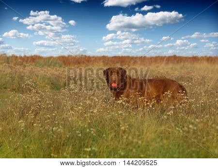 Young labrador in field