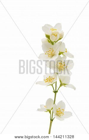 jasmine ornamental flower on a white background