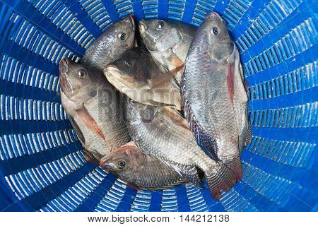 Tilapia And Nile Tilapia In Blue Plastic Bucket, Raw Fresh Freshwater Fish In Blue Plastic Basket