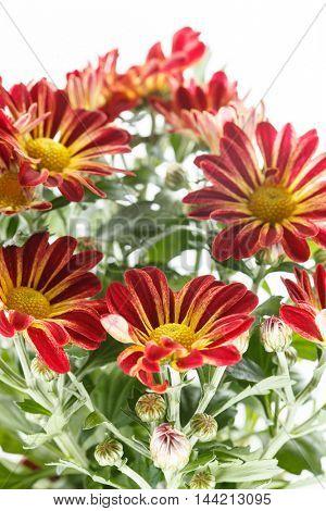chrysanthemum in the pot