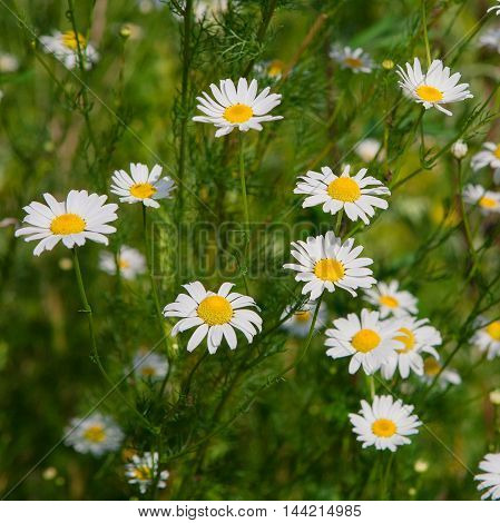 Beautiful field with white daisy flower background. Bright chamomiles or camomiles meadow. Summer in the garden.