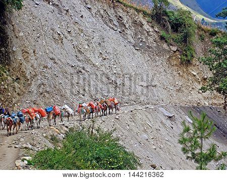 Caravan of donkeys is walking on cliff edge Annapurna trekking area, Nepal