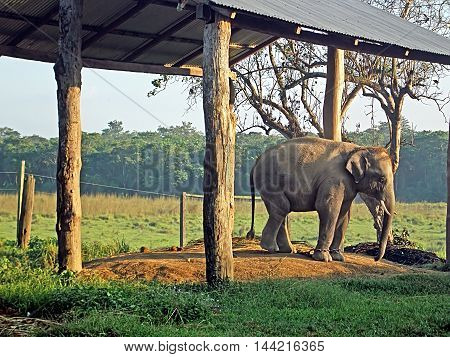 Young elephant in the breeding centre Chitwan National Park, Nepal