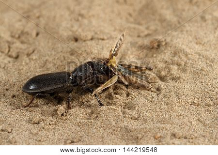 Closeup black beetle (Scarites bucida) is eating the grasshopper on sand in desert. Jungle law