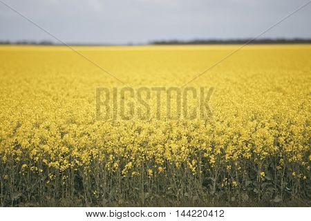 Field of bright canola plants during the day.